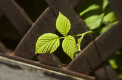 Fresh raspberry leaf. In rusty fence Stock Photography