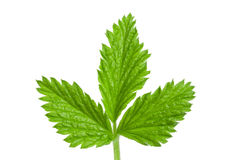 Fresh raspberry leaf  on white background.  Stock Photography