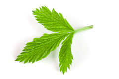 Fresh raspberry leaf  on white background.  Royalty Free Stock Photo