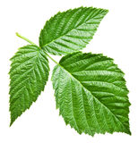 Fresh raspberry leaves. File contains clipping paths Stock Photos