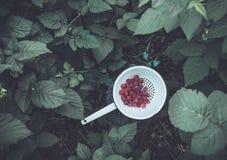 Fresh raspberry in a metal bowl. Fresh raspberry in a metal bowl in a garden Stock Photos