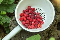 Fresh raspberry in a metal bowl. Fresh raspberry in a metal bowl in a garden Royalty Free Stock Photos