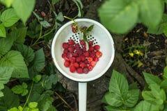 Fresh raspberry in a metal bowl. Fresh raspberry in a metal bowl in a garden Royalty Free Stock Photo