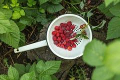 Fresh raspberry in a metal bowl. Fresh raspberry in a metal bowl in a garden Stock Image