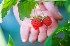 Fresh raspberry Stock Photos