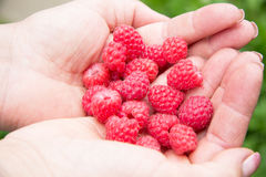Fresh raspberry in woman hands. Fresh red raspberry in woman hands in garden Stock Images
