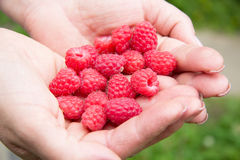 Fresh raspberry in woman hands. Fresh red raspberry in woman hands in garden Royalty Free Stock Photo