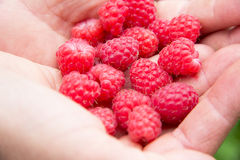 Fresh raspberry in woman hands. Fresh red raspberry in woman hands in garden Royalty Free Stock Images