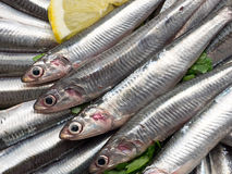 Fresh and raw anchovies. Close up Royalty Free Stock Images