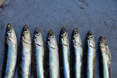 Fresh raw anchovy. Fresh anchovy in a dark iron pan, background Royalty Free Stock Images