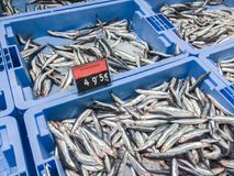 Fresh raw anchovy fish on ice for sale at local market in Ibiza,. Fresh raw European anchovy Engraulis encrasicolus fish on ice in blue containers for sale at royalty free stock photos