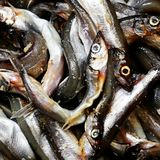 Fresh and raw anchovy, sprats.  Stock Image