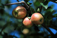 Fresh raw apples in orchard of Northern thailand Royalty Free Stock Photo