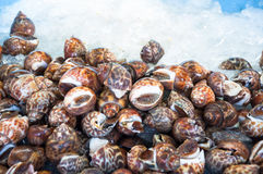 The Fresh raw babylon snail on ice and selection focus with ligh Stock Photos