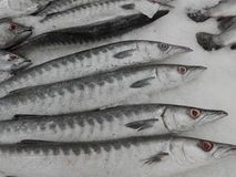 Fresh raw Barracuda or Seapike fishes Royalty Free Stock Images
