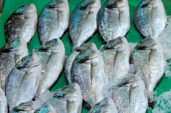 Fresh raw black sea bass Centropristis striata Stock Image