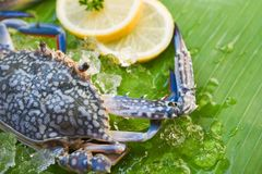 Fresh raw blue swimming crab seafood ice and lemon on banana leaf background. Fresh raw blue swimming crab seafood with ice and lemon on banana leaf background royalty free stock photos