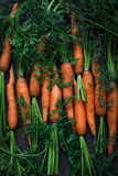 Fresh raw carrots. Fresh carrots. Freshly picked organic carrots on black slate background. Toned image Stock Image