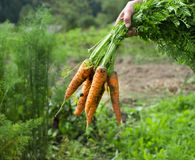 Fresh raw carrots. Fresh Carrots in hands over green garden Stock Photos