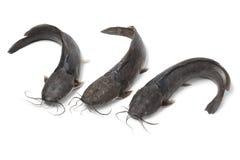 Fresh raw catfish Stock Images