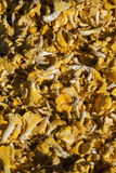 Fresh raw chanterelle mushrooms in market display. Fresh raw chanterelle mushrooms in helsinki market display on sunny day Stock Photo