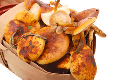 Fresh raw chanterelles. In basket Stock Photography