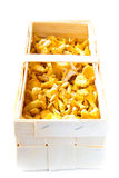 Fresh, raw chanterelles in basket, great harvest Stock Images