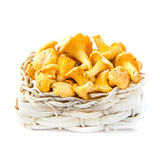Fresh, raw chanterelles mushrooms  in basket, great harvest. Fresh, raw chanterelles in basket, great autumn  harvest Royalty Free Stock Photos