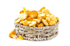 Fresh, raw chanterelles mushrooms  in basket, great harvest Stock Image