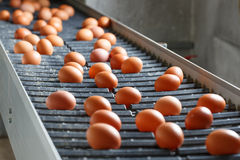 Fresh and raw chicken eggs on a conveyor belt. Being moved to the packing house. Consumerism, egg production, automated business, organic farming concept Royalty Free Stock Photography