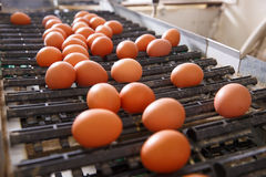 Fresh and raw chicken eggs on a conveyor belt. Being moved to the packing house. Consumerism, egg production, automated business, organic farming concept Royalty Free Stock Images