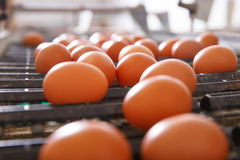 Fresh and raw chicken eggs on a conveyor belt. Being moved to the packing house. Consumerism, egg production, automated business, organic farming concept Royalty Free Stock Image