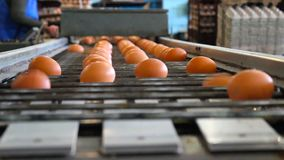 Fresh and raw chicken eggs on a conveyor belt, being moved to the packing house. Consumerism, egg production, automated. Business, organic farming concept stock video footage