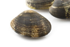 Fresh raw Clam Stock Photography