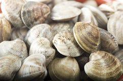 Fresh raw Clam. Close up on white Stock Image