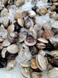 Fresh raw clam seashells on ice. Background of fresh raw clam seashells on ice for sale in the fresh market Stock Images