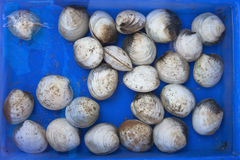 Fresh raw clams Royalty Free Stock Photography
