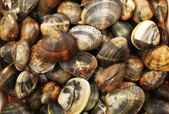 Fresh raw clams background. A fresh raw clams background Royalty Free Stock Photography