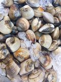 Fresh raw clams on ice at the seafood market Stock Photo