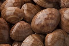 Fresh raw closed smooth clams full frame. Close up Royalty Free Stock Photos