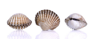 Fresh raw cockle on the white background.  Stock Image