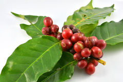 Fresh raw coffee beans. Red Fresh raw coffee beans and leaves on white background Stock Image