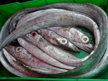 Fresh Raw Conger Eels at Mediterranean Fish Market. Freshly caught and still alive, a fisherman's green crate of silver sea conger eels Stock Images