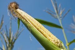 Fresh raw corn Stock Photos