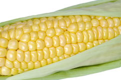 Fresh raw corn on the cob closeup. Mature ear of corn isolated on a white background Stock Image