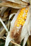 Fresh raw corn cob. Growing in a field Stock Images