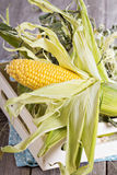 Fresh raw corn cob. Ready to be prepared Royalty Free Stock Image