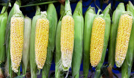 Fresh raw corn on the cob at the village market. Fresh raw corn on the cob at the village market Royalty Free Stock Image