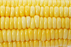 Fresh raw corn cob. On the white Stock Photography