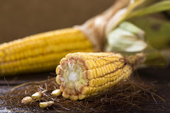 Fresh raw corn cobs Stock Photography